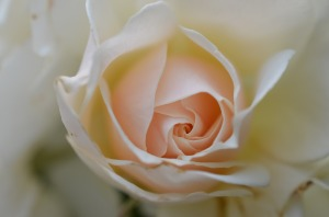rose_white_rose_flower